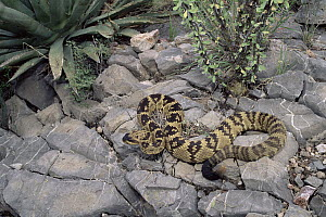 Black-tailed Rattlesnake (Crotalus molossus) on rocks, Chiricahua Mountains, Arizona - Michael & Patricia Fogden