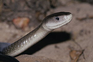 Black Mamba (Dendroaspis polylepis) portrait, largest venomous snake in Africa  -  Michael & Patricia Fogden