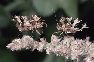 True Bug (Pephricus sp) pair, insect mimics plant as camouflage, South Africa - Michael & Patricia Fogden