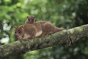 Dwarf Cuscus (Strigocuscus celebensis) mother and young in the rainforest, Tangkoko-Dua Saudara Nature Reserve, Sulawesi Indonesia - Michael & Patricia Fogden