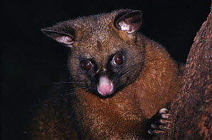 Common Brush-tailed Possum (Trichosurus vulpecula), New Zealand - Michael & Patricia Fogden