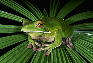 White-lipped Tree Frog (Litoria infrafrenata) close up of frog sitting in middle of frond, Karunda State Forest, Queensland, Australia  -  Michael & Patricia Fogden