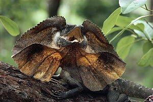 Frilled Lizard (Chlamydosaurus kingii) with frill raised and mouth open in defensive posture on tree log, Australia - Michael & Patricia Fogden