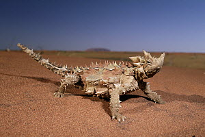 Thorny Devil (Moloch horridus) in the desert near Ayers Rock, Uluru-Kata Tjuta National Park, Australia - Michael & Patricia Fogden