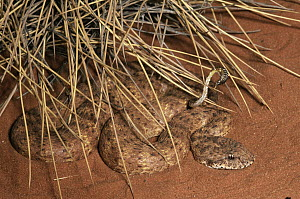 Desert Death Adder (Acanthophis pyrrhus) coiled in desert using tip of tail as a lure, an example of caudal luring, Australia - Michael & Patricia Fogden