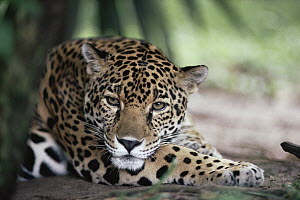 Jaguar (Panthera onca) hunting in the rainforest, Belize  -  Michael & Patricia Fogden