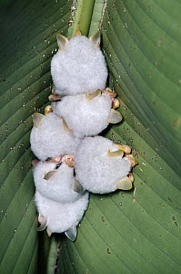 Honduran White Bat (Ectophylla alba) group roosting under Heliconia leaf, bats chewed sides of midrid causing leaf to collapse and provide shelter, rainforest, Costa Rica  -  Michael & Patricia Fogden
