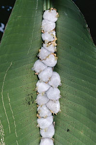 Honduran White Bat (Ectophylla alba) roosting under Heliconia leaf, bats chewed sides of midrib causing leaf to collapse and provide shelter, rainforest, Costa Rica  -  Michael & Patricia Fogden