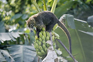 White-nosed Coati (Nasua narica) stealing banana from a tree, rainforest, Costa Rica  -  Michael & Patricia Fogden