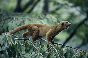 Kinkajou (Potos flavus) in the rainforest, Costa Rica - Michael & Patricia Fogden
