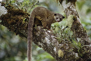 Kinkajou (Potos flavus) has a prehensile tail, rainforest Costa Rica - Michael & Patricia Fogden