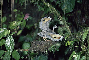 Sunbittern (Eurypyga helias) chick in defensive thereat display in nest, Costa Rica  -  Michael & Patricia Fogden