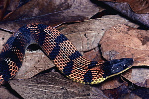 Fire-bellied Snake (Leimadophis epinephalus) harmless mimic of Coral Snake, defensive display, cloud forest, Costa Rica  -  Michael & Patricia Fogden