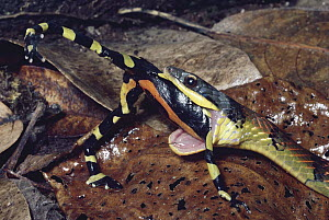 Fire-bellied Snake (Leimadophis epinephalus) swallowing a poisonous Harlequin Frog (Atelopus varius) cloud forest, Costa Rica  -  Michael & Patricia Fogden