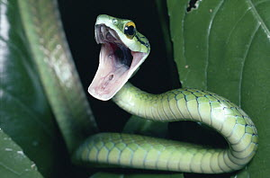 Parrot Snake (Leptophis ahaetulla) defensive threat display, rainforest, Costa Rica  -  Michael & Patricia Fogden