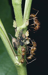 Treehoppers, adult and several ages of young plus ant guards, dry forest, Guanacaste, Costa Rica - Michael & Patricia Fogden
