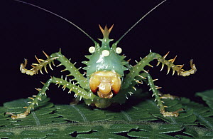 Katydid (Panacanthus cuspidatus) threat display, Amazon rainforest, Ecuador  -  Michael & Patricia Fogden