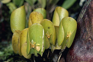 Orchid (Lepanthes comet-halleyi), a small epiphytic species, Costa Rica  -  Michael & Patricia Fogden