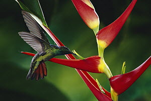 Rufous-tailed Hummingbird (Amazilia tzacatl) feeding at and pollinating Heliconia (Heliconia latispatha) flowers, La Selva Biological Research Station, rainforest, Costa Rica  -  Michael & Patricia Fogden