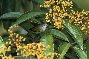 Tennessee Warbler (Oreothlypis peregrina) feeding on Miconia fruits in the rainforest, Costa Rica  -  Michael & Patricia Fogden