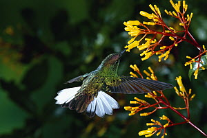 Coppery-headed Emerald (Elvira cupreiceps) hummingbird, male feeding at and pollinating Cappel (Palicourea padifolia) flowers, Monteverde Cloud Forest Reserve, Costa Rica  -  Michael & Patricia Fogden