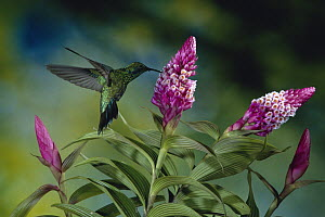 Green Violet-ear (Colibri thalassinus) hummingbird feeding at and pollinating flowers of epiphytic Orchid (Elleanthus glaucophyllus), Monteverde Cloud Forest Reserve, Costa Rica  -  Michael & Patricia Fogden