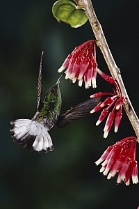 Coppery-headed Emerald (Elvira cupreiceps) hummingbird, male feeding at and pollinating epiphytic Heath (Satyria warszewiczii) flowers in cloud forest, Costa Rica  -  Michael & Patricia Fogden