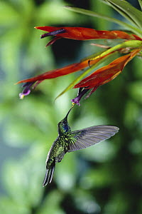 Green Violet-ear (Colibri thalassinus) hummingbird feeding at and pollinating epiphytic Bromeliad (Tillandsia multicaulis) cloud forest, Costa Rica  -  Michael & Patricia Fogden