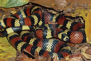 Milk Snake (Lampropeltis triangulum) a Kingsnake, harmless mimic of Coral Snake in rainforest, Costa Rica  -  Michael & Patricia Fogden