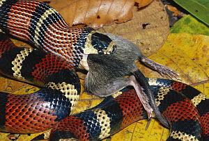 Milk Snake (Lampropeltis triangulum) a Kingsnake, harmless mimic of Coral Snake, constricting and swallowing a Spiny Pocket Mouse (Heteromys sp) rainforest, Costa Rica  -  Michael & Patricia Fogden
