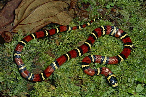Milk Snake (Lampropeltis triangulum) a Kingsnake, non-venomous mimic of Coral Snake on mossy rainforest floor, Costa Rica  -  Michael & Patricia Fogden