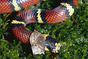 Milk Snake (Lampropeltis triangulum) a Kingsnake, shedding its skin, non-venomous mimic of Coral Snake, in the rainforest, Costa Rica  -  Michael & Patricia Fogden