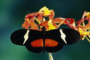 Passionvine Butterfly (Heliconius clysonimus) on Orchid (Epidendrum radicans) a mimic of Scarlet Milkweed, Asclepias curassavica, and Largeleaf Lantana (Lantana camara) in the cloud forest, Costa Rica - Michael & Patricia Fogden