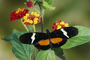 Passionvine Butterfly (Heliconius clysonimus) feeding at Largeleaf Lantana (Lantana camara) flowers, a mimic of Scarlet Milkweed Asclepias curassavica in the cloud forest, Costa Rica - Michael & Patricia Fogden