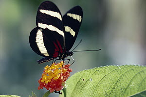 Heliconius Butterfly (Heliconius hewitsoni) feeding on Lantana flowers (Lantana sp) which are Mullerian mimics, Costa Rica - Michael & Patricia Fogden