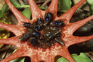 Starfish Stinkhorn (Aseroe rubra) with Blue Bottle Fly (Calliphoridae) group feeding on and dispersing spores, cloud forest, Costa Rica  -  Michael & Patricia Fogden