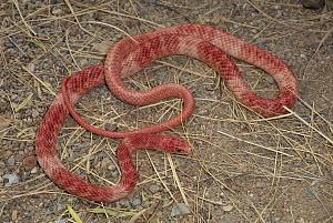 Coachwhip (Masticophis flagellum) widespread snake with many color variations, USA and Mexico  -  Michael & Patricia Fogden