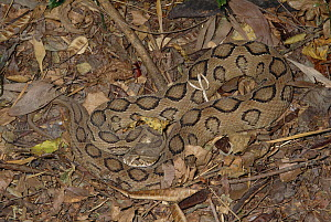 Russell's Viper (Daboia russelii) venomous snake camouflaged against ground, India  -  Michael & Patricia Fogden