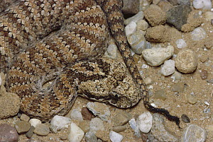 Death Adder (Acanthophis antarcticus) venomous snake uses tail to lure prey, an example of caudal luring, captive, Australia  -  Michael & Patricia Fogden
