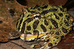 Ornate Horned Frog (Ceratophrys ornata) swallowing an anole, South America  -  Michael & Patricia Fogden
