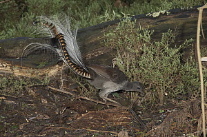 Superb Lyrebird (Menura novaehollandiae) male looking for worms and small insects on forest floor, Sherbrooke Forest, Victoria, Australia - D. Parer & E. Parer-Cook
