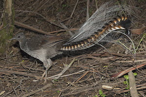 Superb Lyrebird (Menura novaehollandiae) male looking for worms and small insects on forest floor, Sherbrooke Forest Park, Victoria, Australia - D. Parer & E. Parer-Cook
