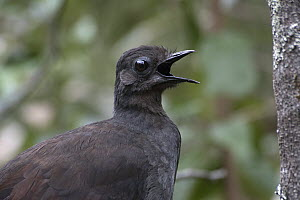 Superb Lyrebird (Menura novaehollandiae) male giving his territorial song early in the morning, Sherbrooke Forest Park, Victoria, Australia - D. Parer & E. Parer-Cook