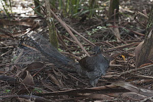 Superb Lyrebird (Menura novaehollandiae) male turning over leaf litter looking for worms and small insects, Sherbrooke Forest Park, Victoria, Australia - D. Parer & E. Parer-Cook