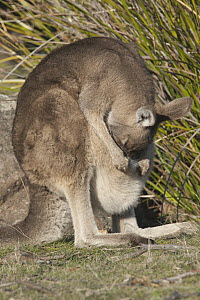 Eastern Grey Kangaroo (Macropus giganteus) female cleaning joey in pouch, Maria Island National Park, Australia - D. Parer & E. Parer-Cook