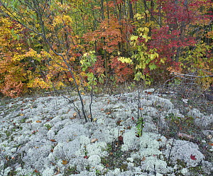Forest with autumn foliage and lichen-covered ground, Killarney Provincial Park, Ontario, Canada  -  Tim Fitzharris