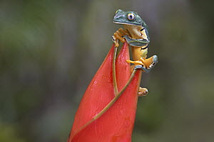 Tiger-striped Leaf Frog (Phyllomedusa tomopterna) on Heliconia (Heliconia sp) , Costa Rica - Tim Fitzharris