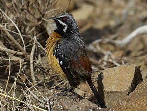 Orange-breasted Rockjumper (Chaetops aurantius) male sunning itself on a rock, Sani Pass, Drakensberg, South Africa - Martin Willis