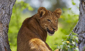 African Lion (Panthera leo) cub peering from the fork of a large tree, Queen Elizabeth National Park, Uganda  -  Martin Willis