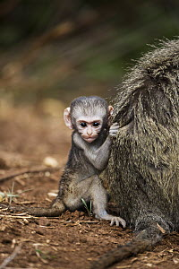 Vervet Monkey (Chlorocebus aethiops) baby holding tightly to mother's fur, Limpopo, South Africa - Richard Du Toit